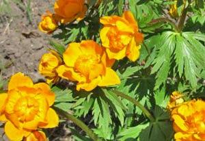 Садовые цветы и растения. 153