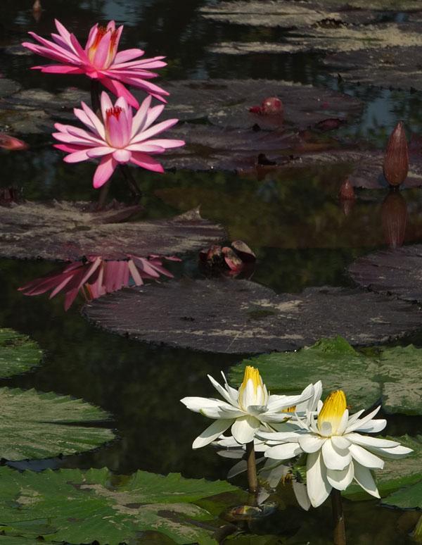 водяные лили нимфеи фото 13