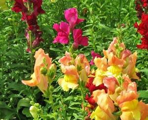 Садовые цветы и растения. 194