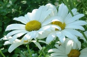 ромашка садовая фото
