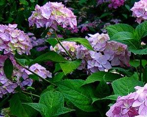 Садовые цветы и растения. 302