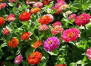 Садовые цветы и растения. 321