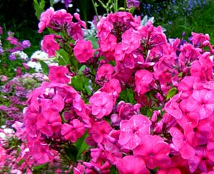 Садовые цветы и растения. 34%D1%84%D0%BB%D0%BE%D0%BA%D1%81%D1%8B