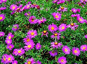 Садовые цветы и растения. 36