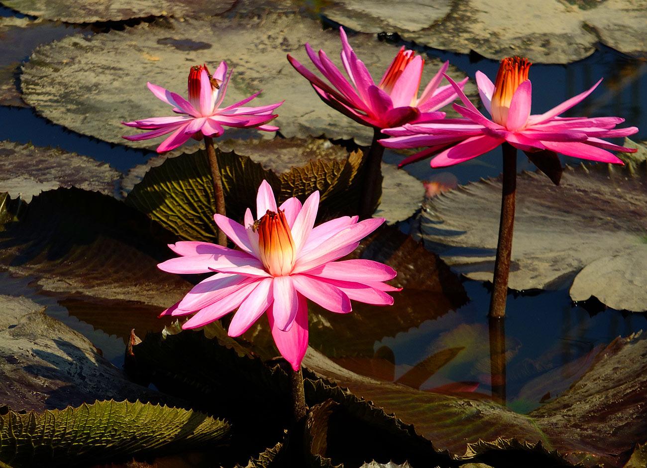 водяные лилии нимфеи фото
