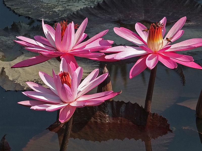 водяные лили нимфеи фото