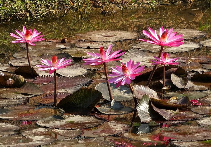 водяные лили нимфеи фото 1