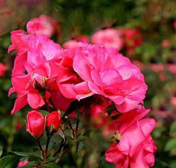 Время цветения роз