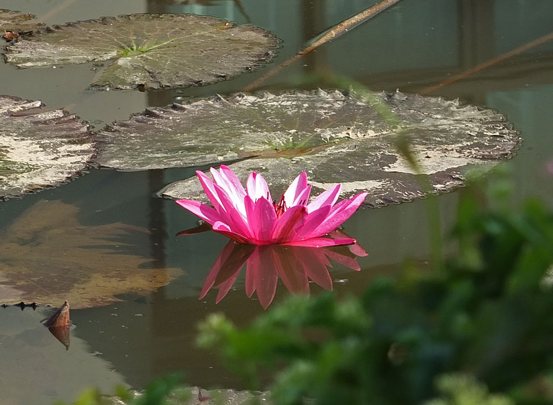 водяные лили нимфеи фото 2