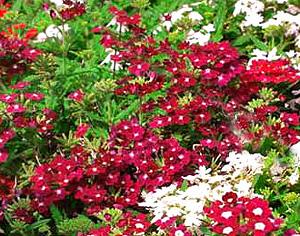 Садовые цветы и растения. 83