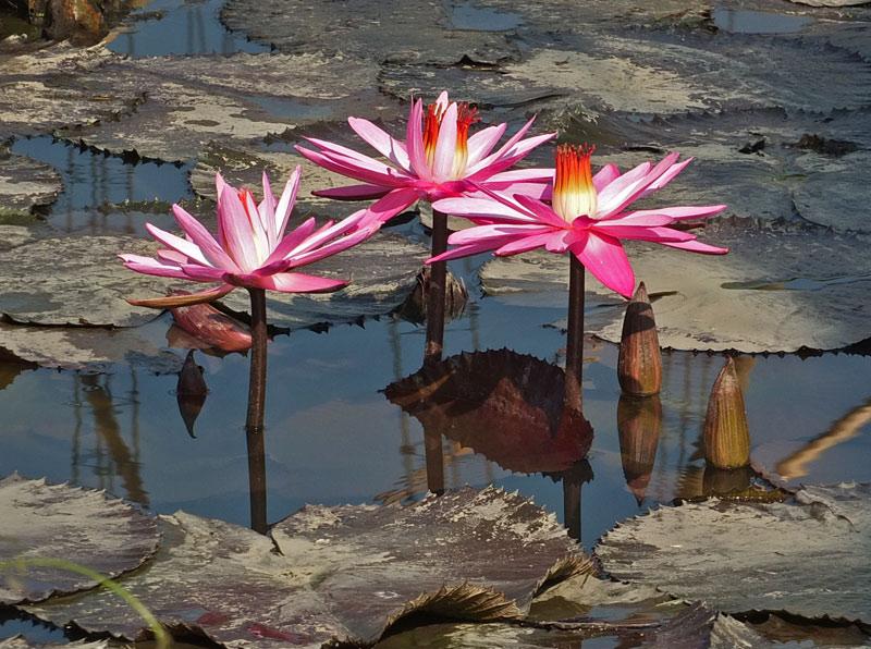 водяные лили нимфеи фото 3