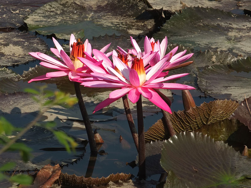 водяные лили нимфеи фото 5