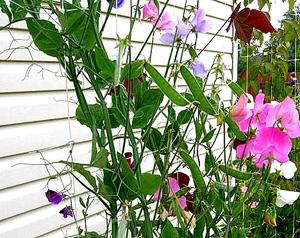 Садовые цветы и растения. DSCF8477