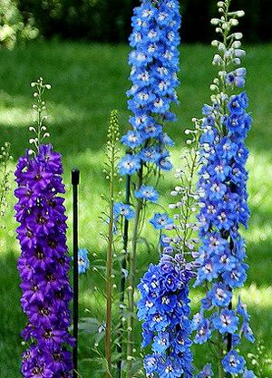 Садовые цветы и растения. Obliv21