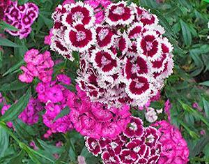 Садовые цветы и растения. Obliv22