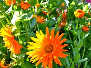 Садовые цветы и растения. Obliv24