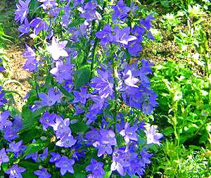 Садовые цветы и растения. Obliv25