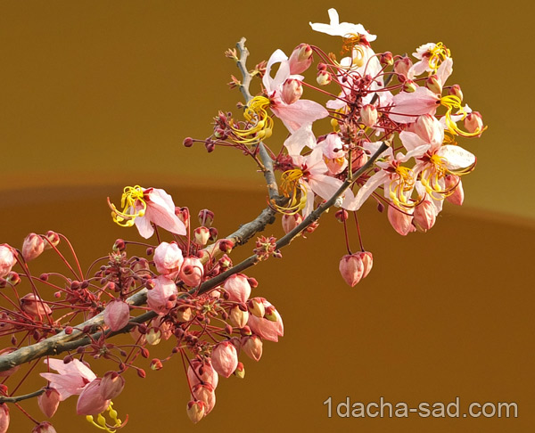 цветущие деревья фото (6)