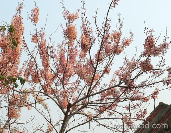 цветущие деревья фото (2)
