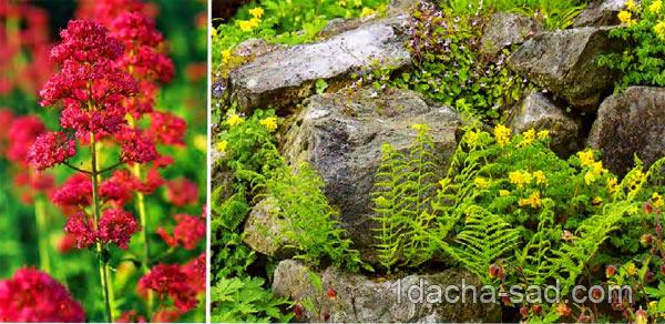 неприхотливые многолетние цветы для дачи (8)