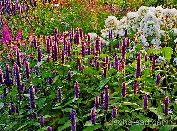 неприхотливые многолетние цветы для дачи (6)