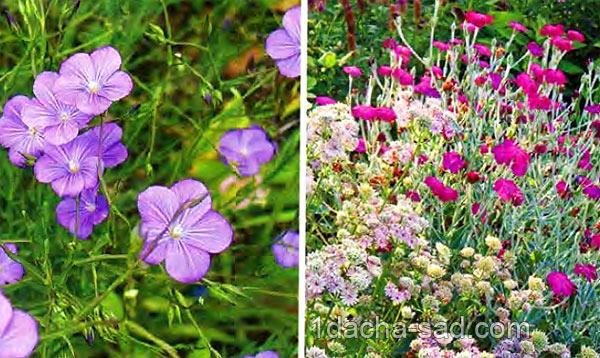неприхотливые многолетние цветы для дачи (3)