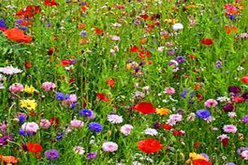 цветущий мавританский газон