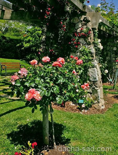 красивый розарий фото (8)
