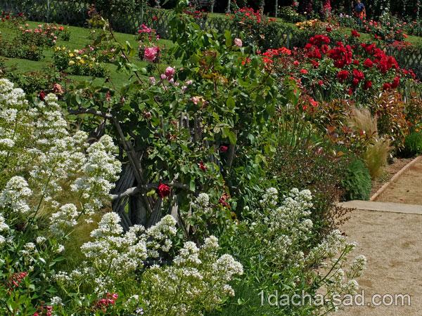 красивый розарий фото (2)