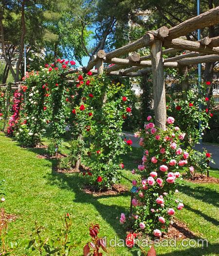 Пергола для плетистых роз