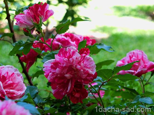 красивый розарий фото (20)