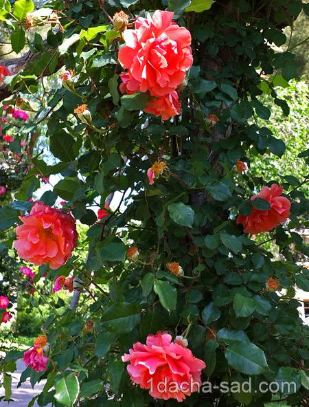 красивый розарий фото (19)