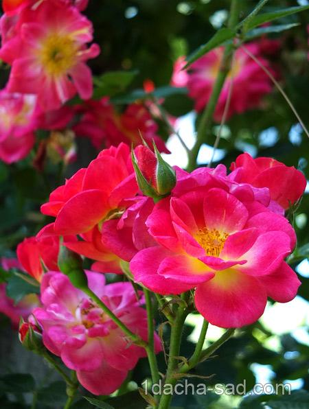 красивый розарий фото (16)
