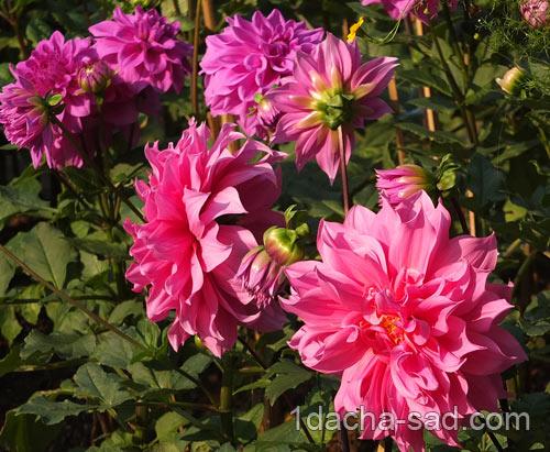 Цветы цветущие лето осень для клумбы