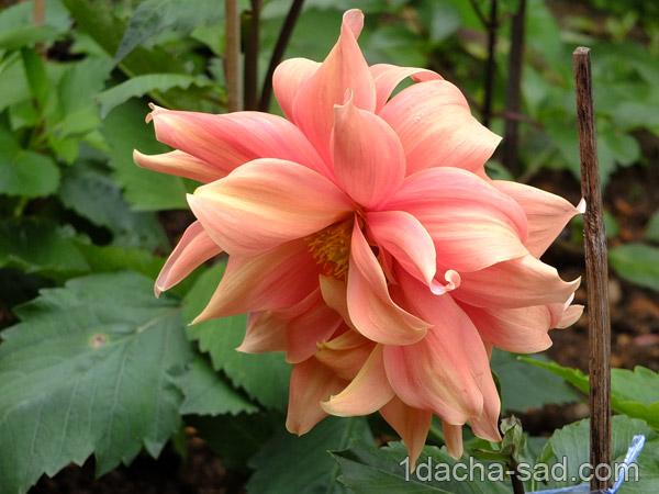фото цветов георгины