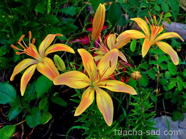 желтые лилии фото
