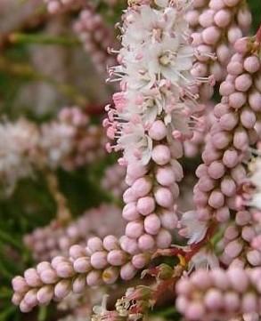 Цветы тамарикса