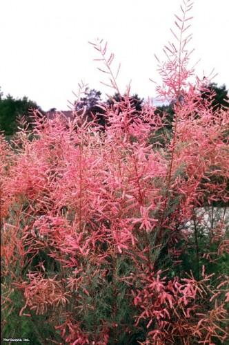 Тамарикс сорт Pink Cascade