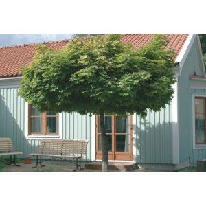 Штамбовое дерево с широкой кроной.