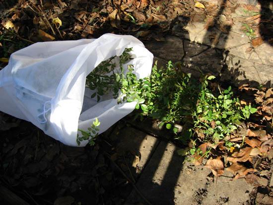 Укрывной мешок надеваю на розу