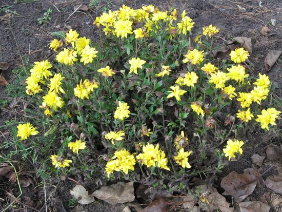 Хризантемы лимонного цвета - сорт Кашмир