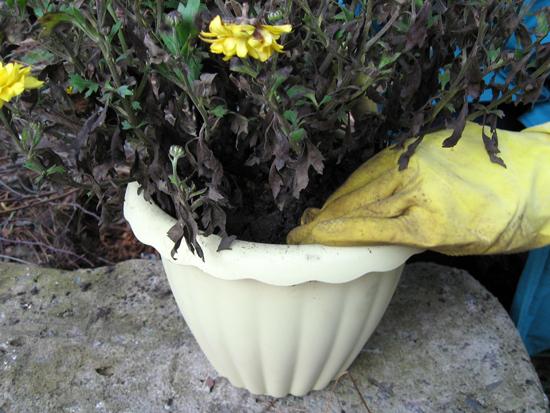 Пересадка шаровидной хризантемы