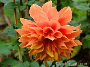 цветы георгины фото (10)