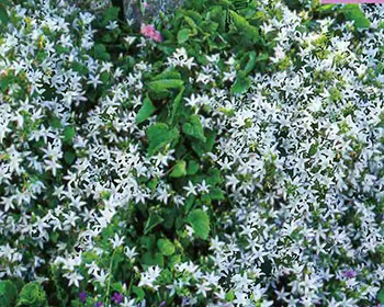Цветущие садовые многолетники колокольчики 10