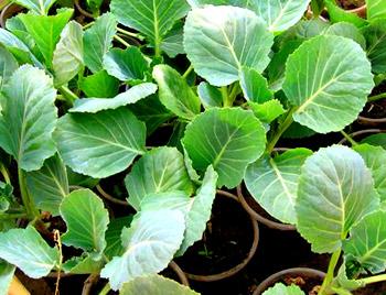 Как в домашних условиях вырастить раннюю капусту