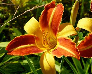 Цветущие садовые многолетники лилейник 15