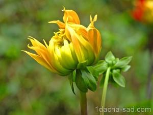 цветы георгины фото (9)