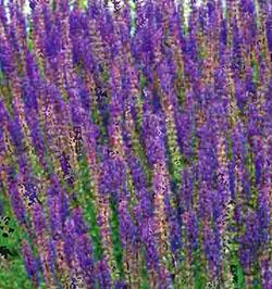 Цветущие садовые многолетники шалфей 21
