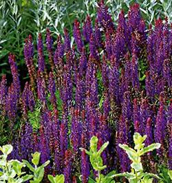 Цветущие садовые многолетники шалфей 23