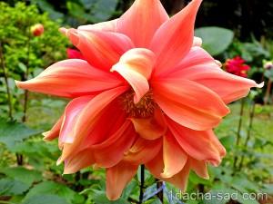 цветы георгины фото (7)